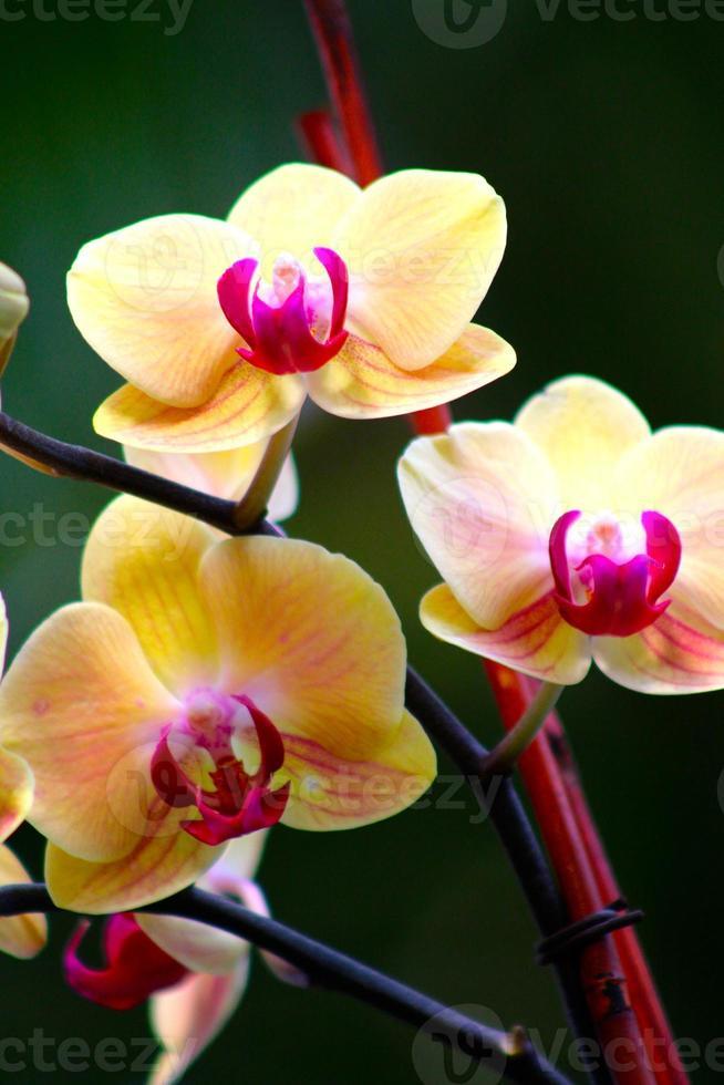 trio de orquídeas foto