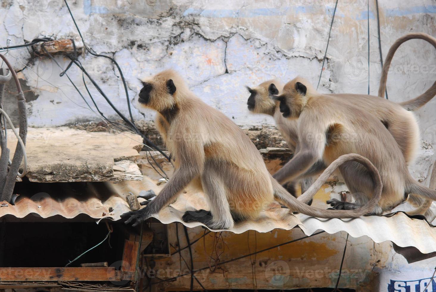macacos em pushkar foto