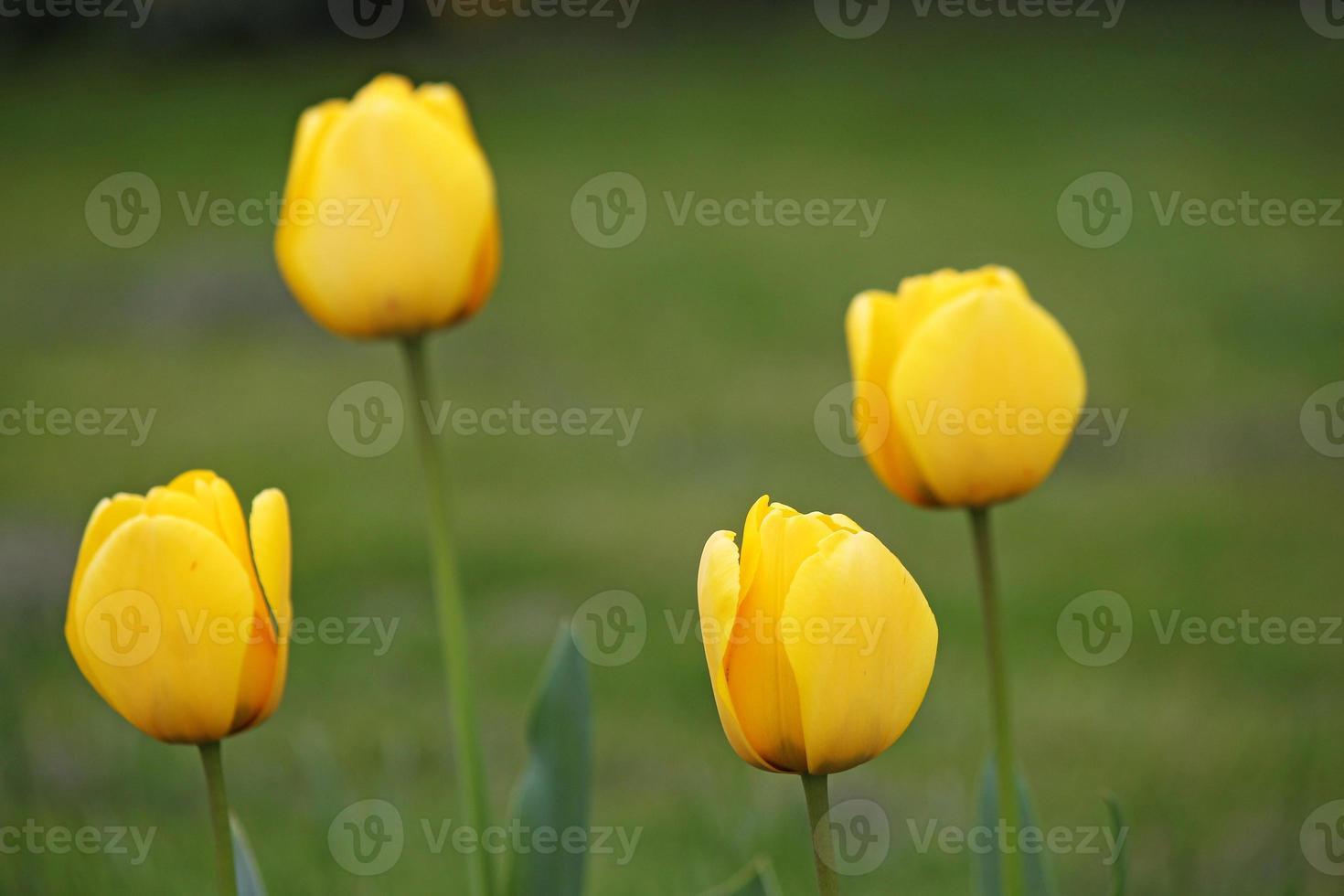 quatro tulipa amarela flores primavera foto