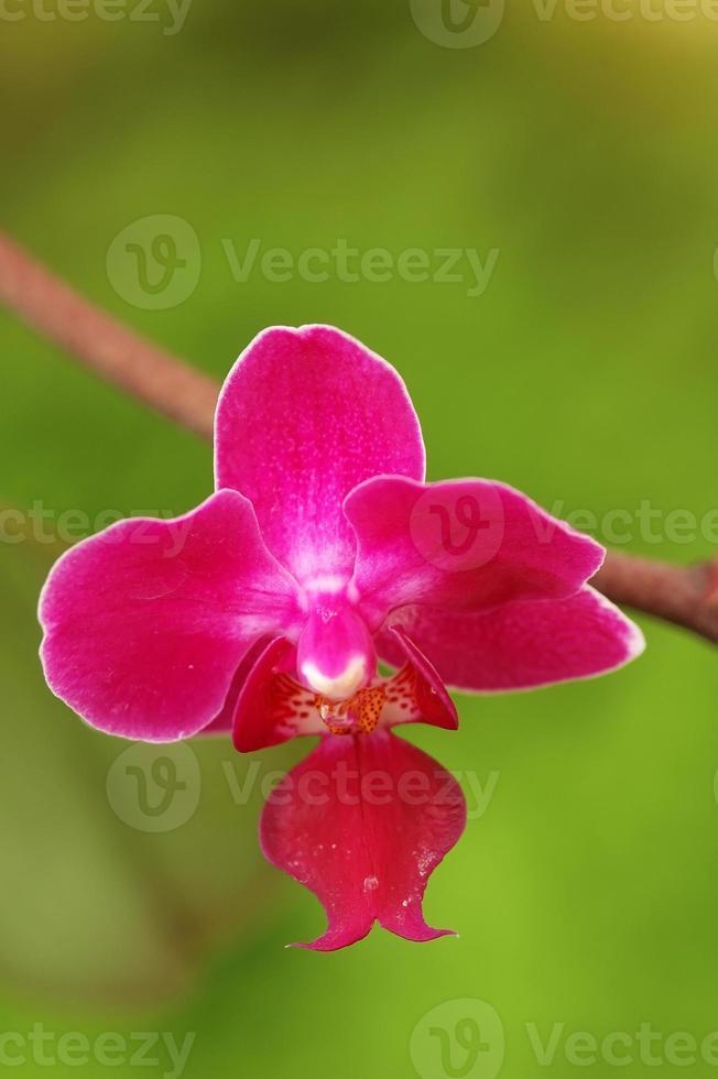 flor de orquídea rosa escura foto