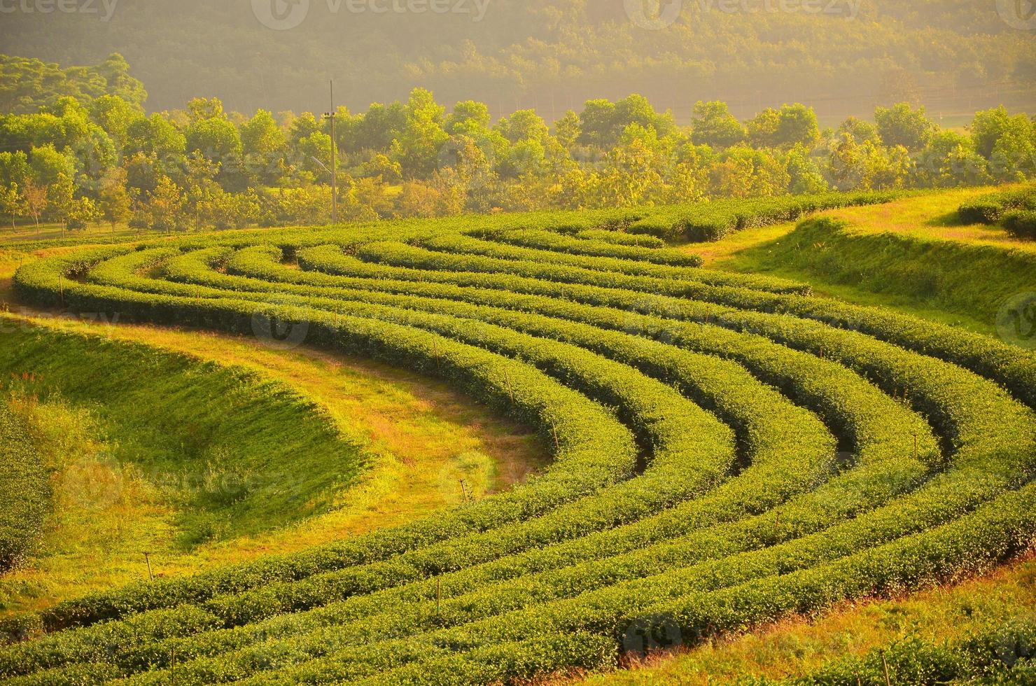 campos de plantação de chá foto