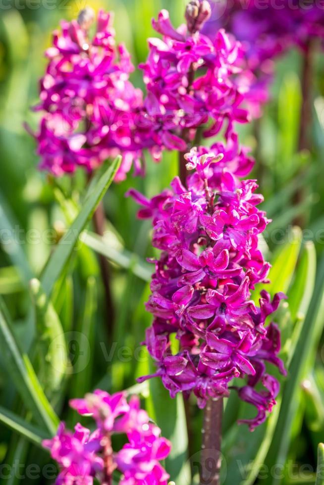 jacintos flores foto