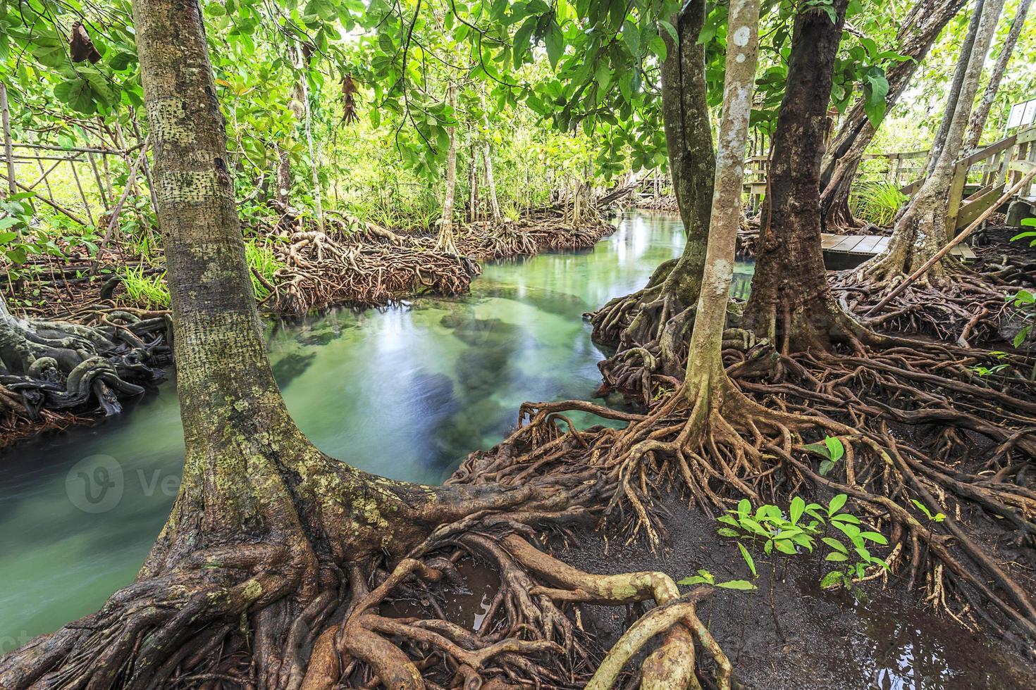árvores de mangue em um pântano de turfa fores foto