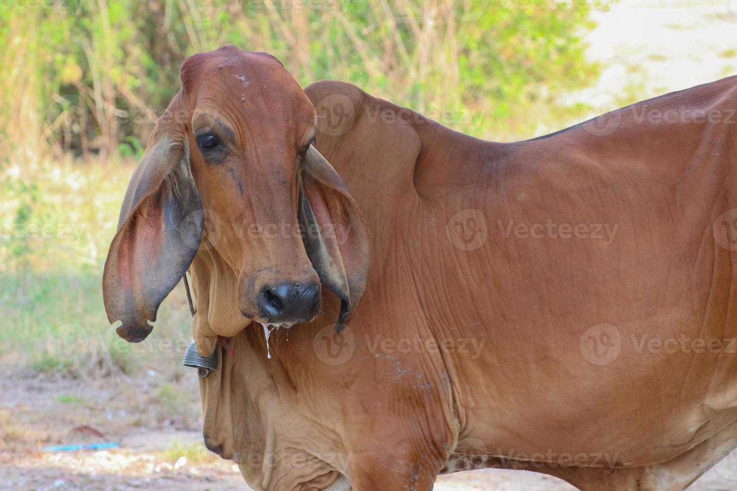 vaca asiática foto