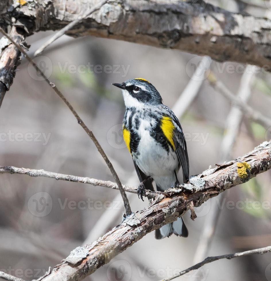 pula-pula-amarela (dendroica coronata) foto