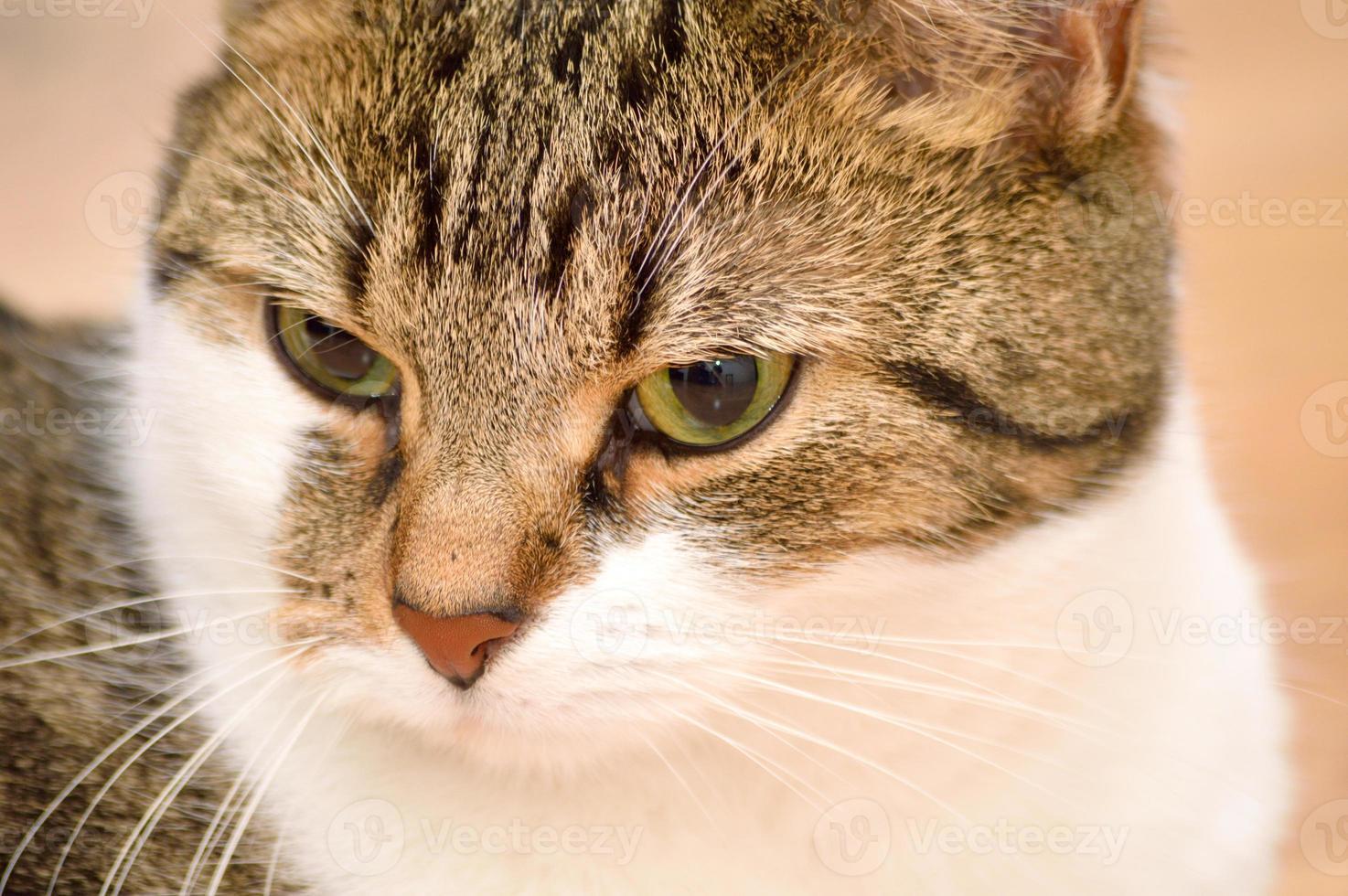 retrato de gato malhado foto
