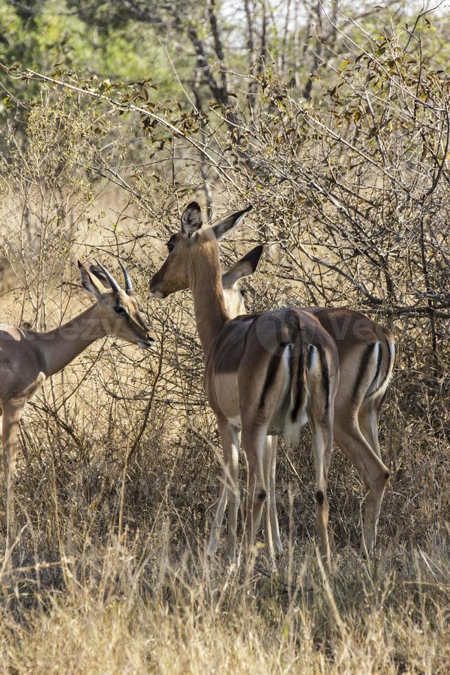 antílope da impala foto