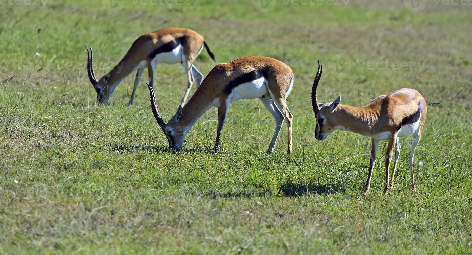 gazela de Grant foto