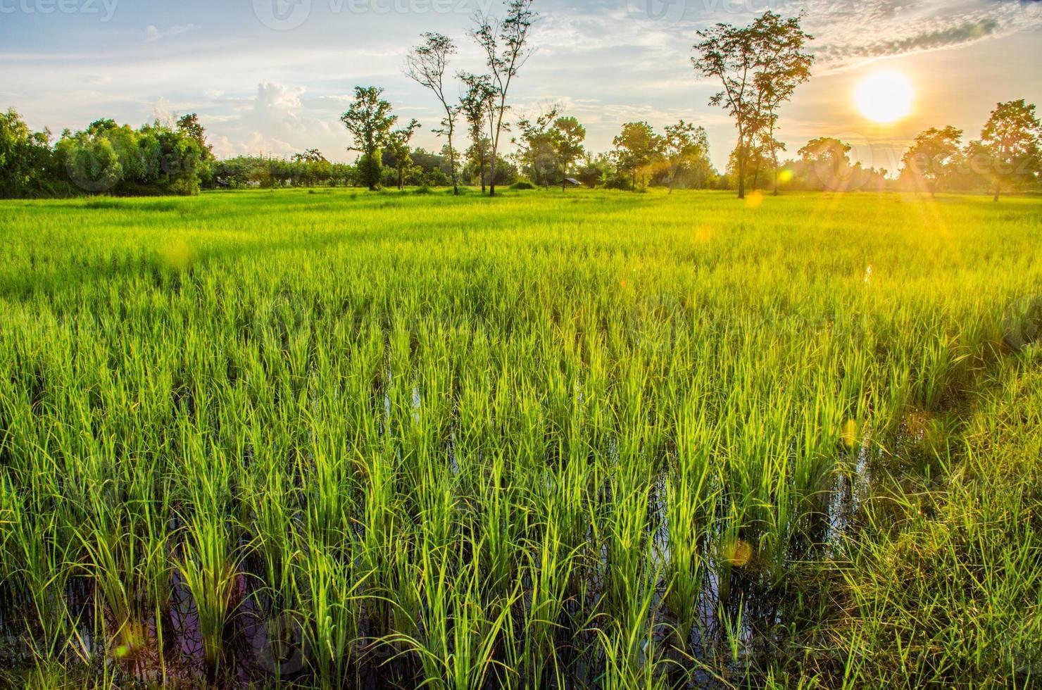pôr do sol no campo de arroz foto