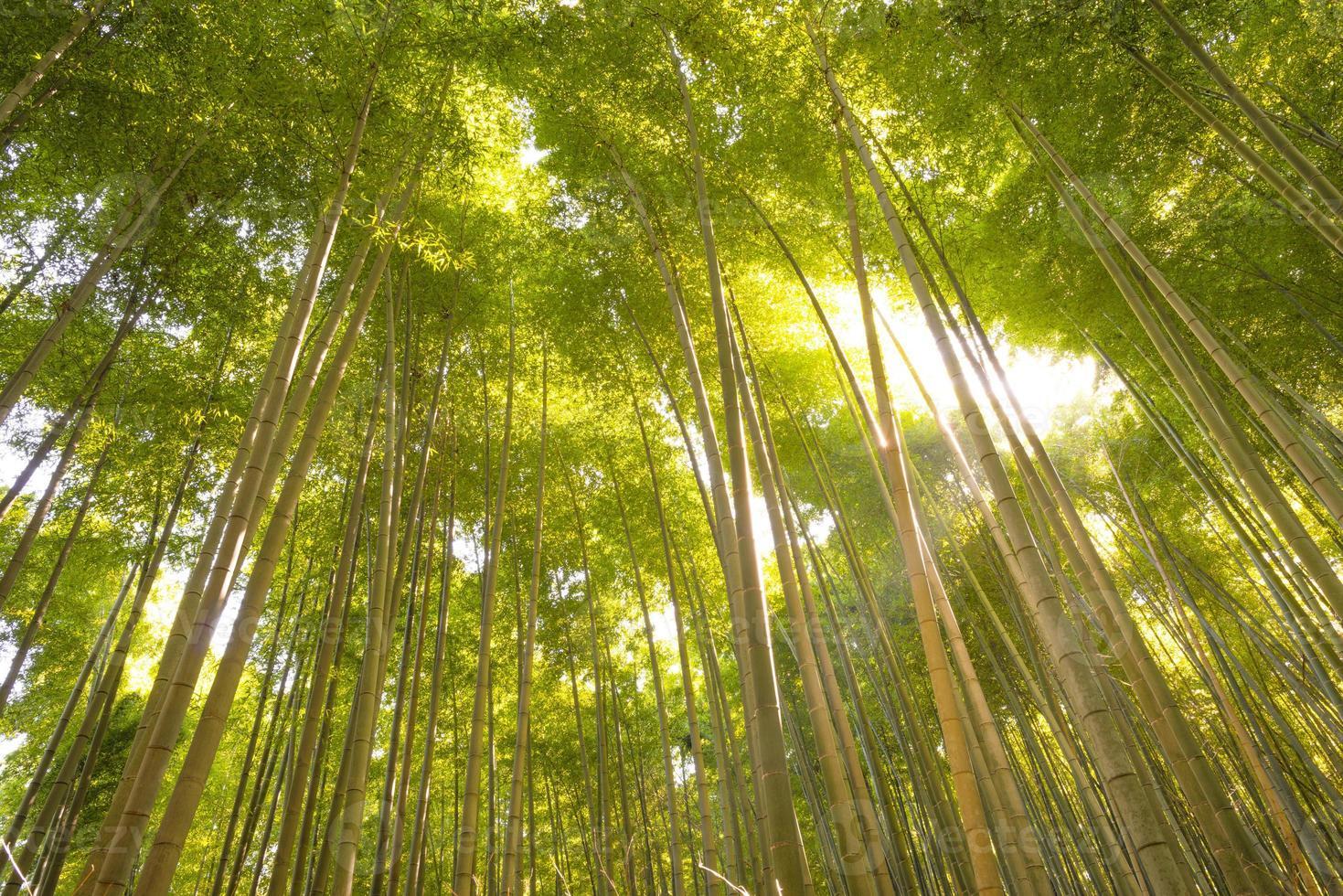 floresta de bambu, kyoto, japão foto