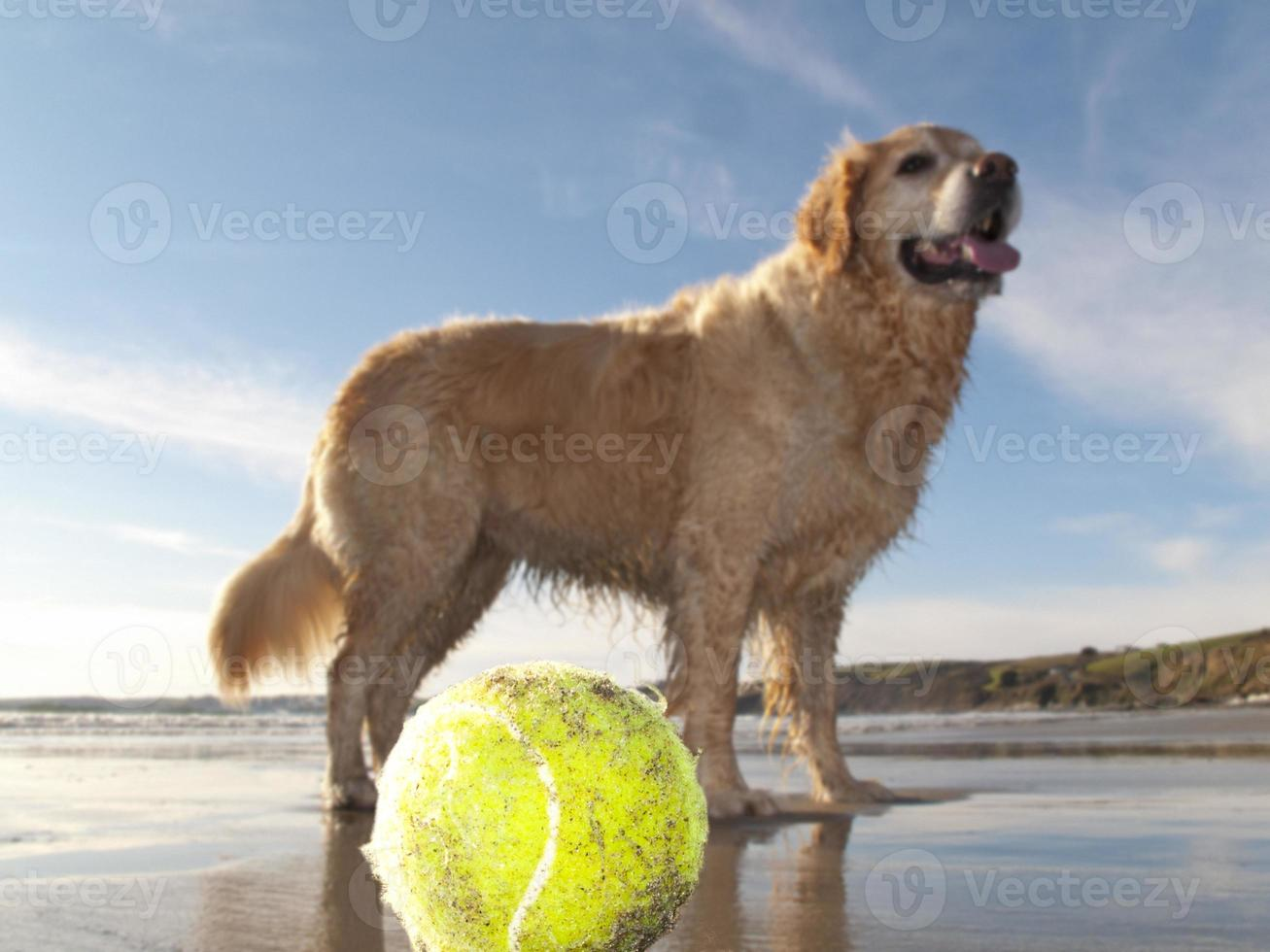 cão, desfrutando de praia e bola de tênis na baía de gerrans foto