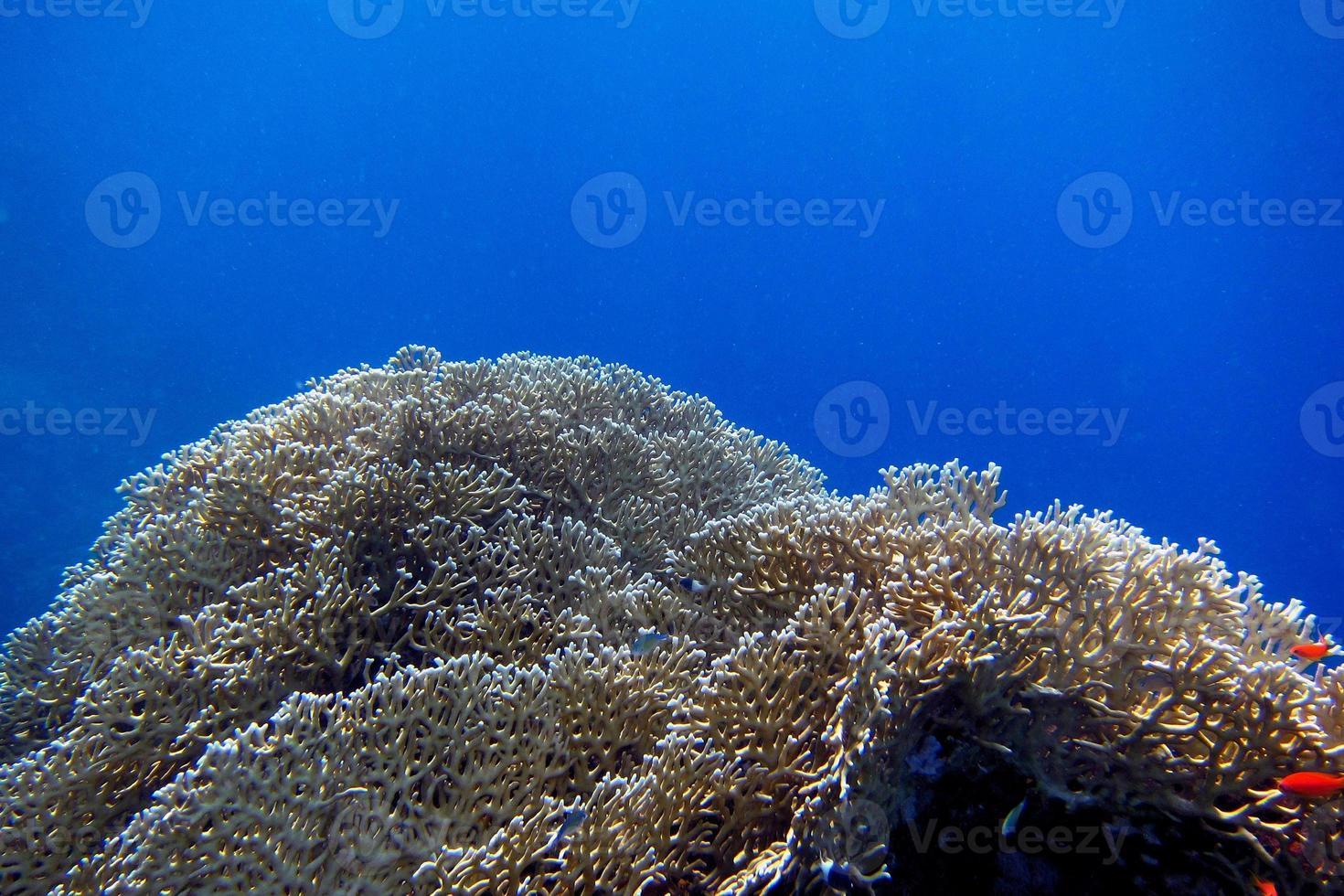 coral foto