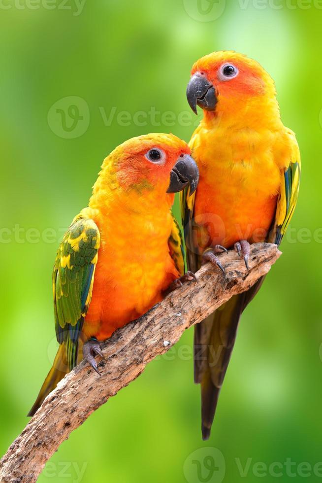 sun conure papagaio pássaro foto