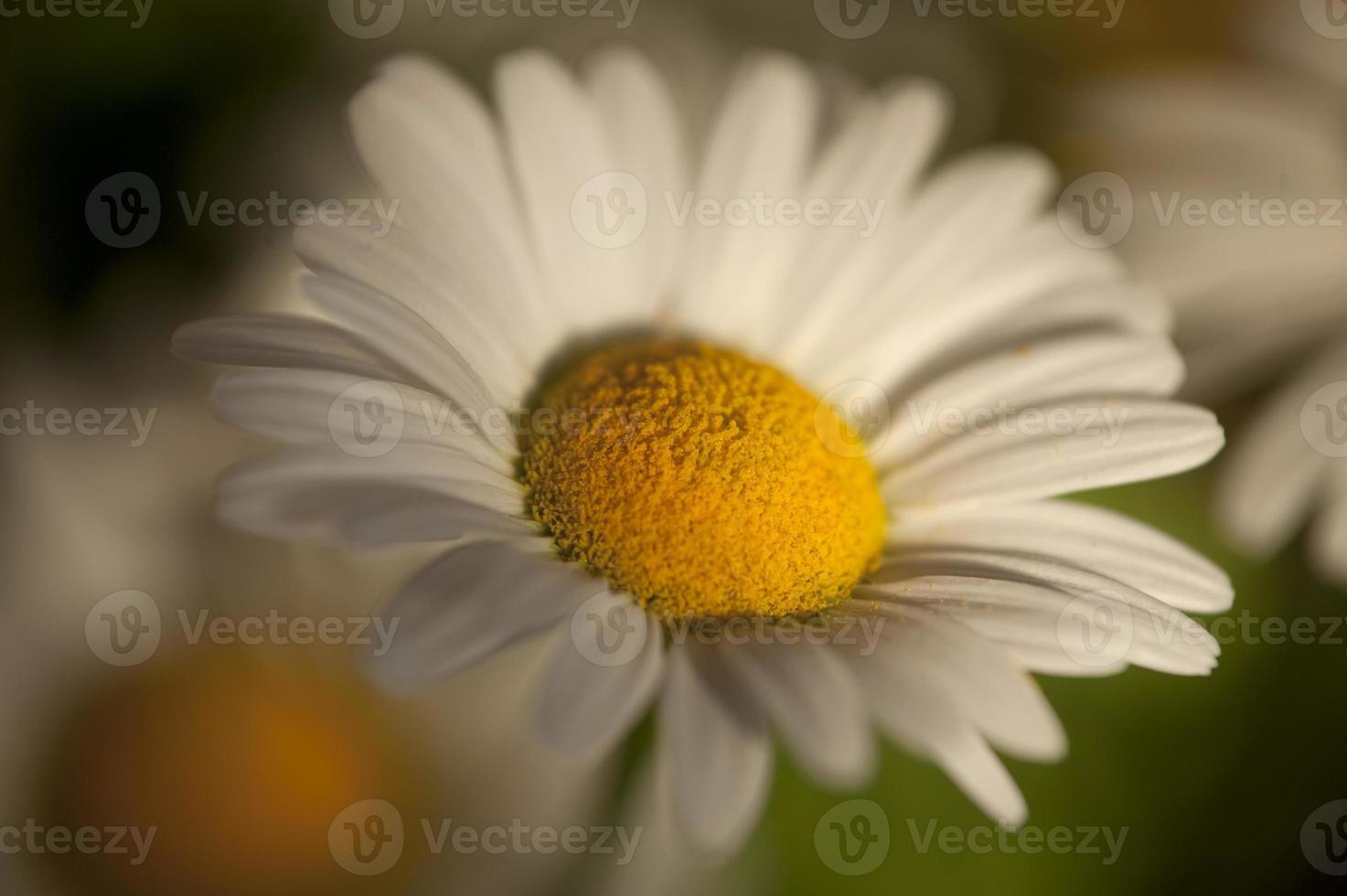 flor bonita dasy foto
