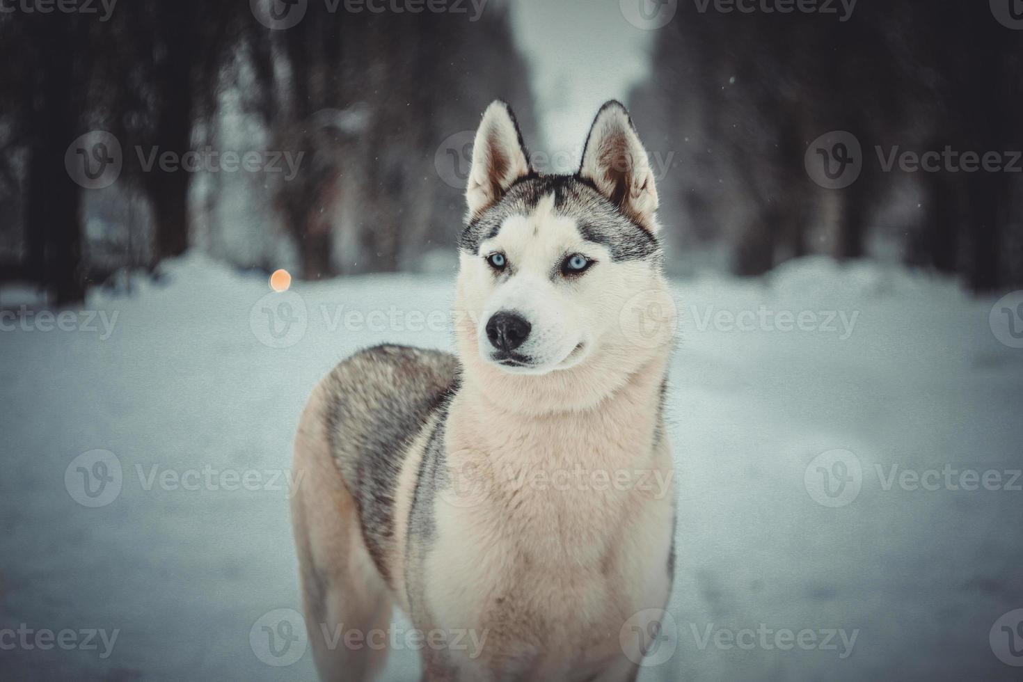 Husky siberiano foto