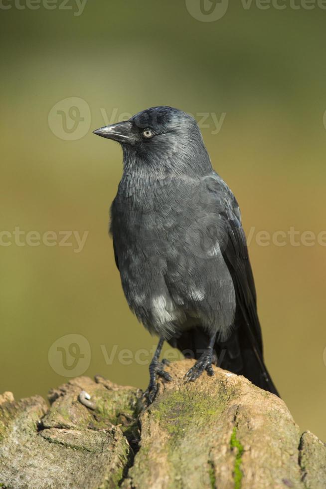 gralha - corvus monedula foto