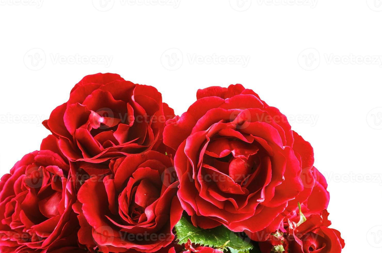 flores rosas vermelhas em um fundo branco foto