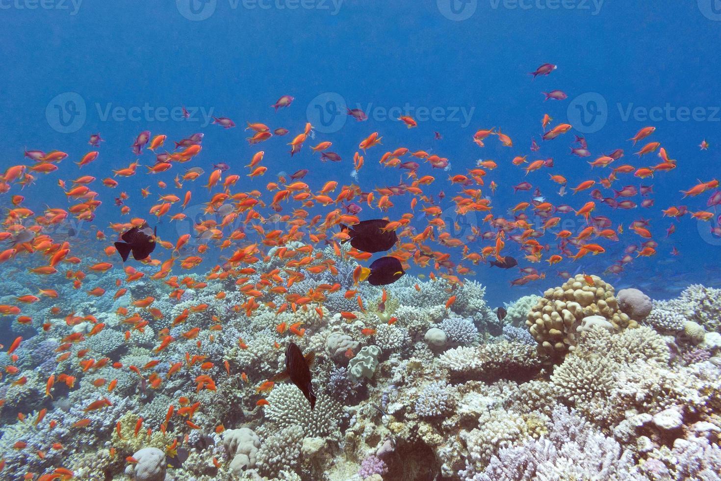 recifes de corais com peixes scalefin anthias no mar tropical, debaixo d'água foto