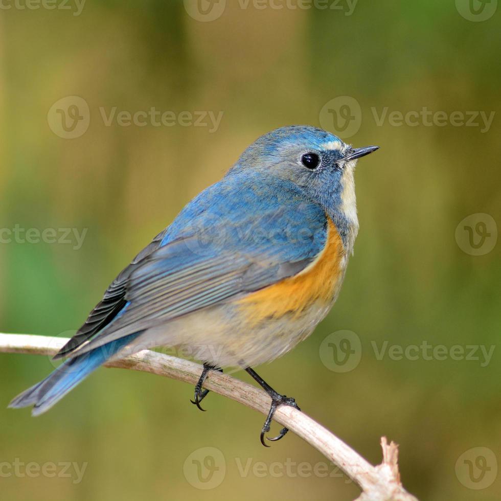 pássaro bluetail flanqueado de vermelho foto