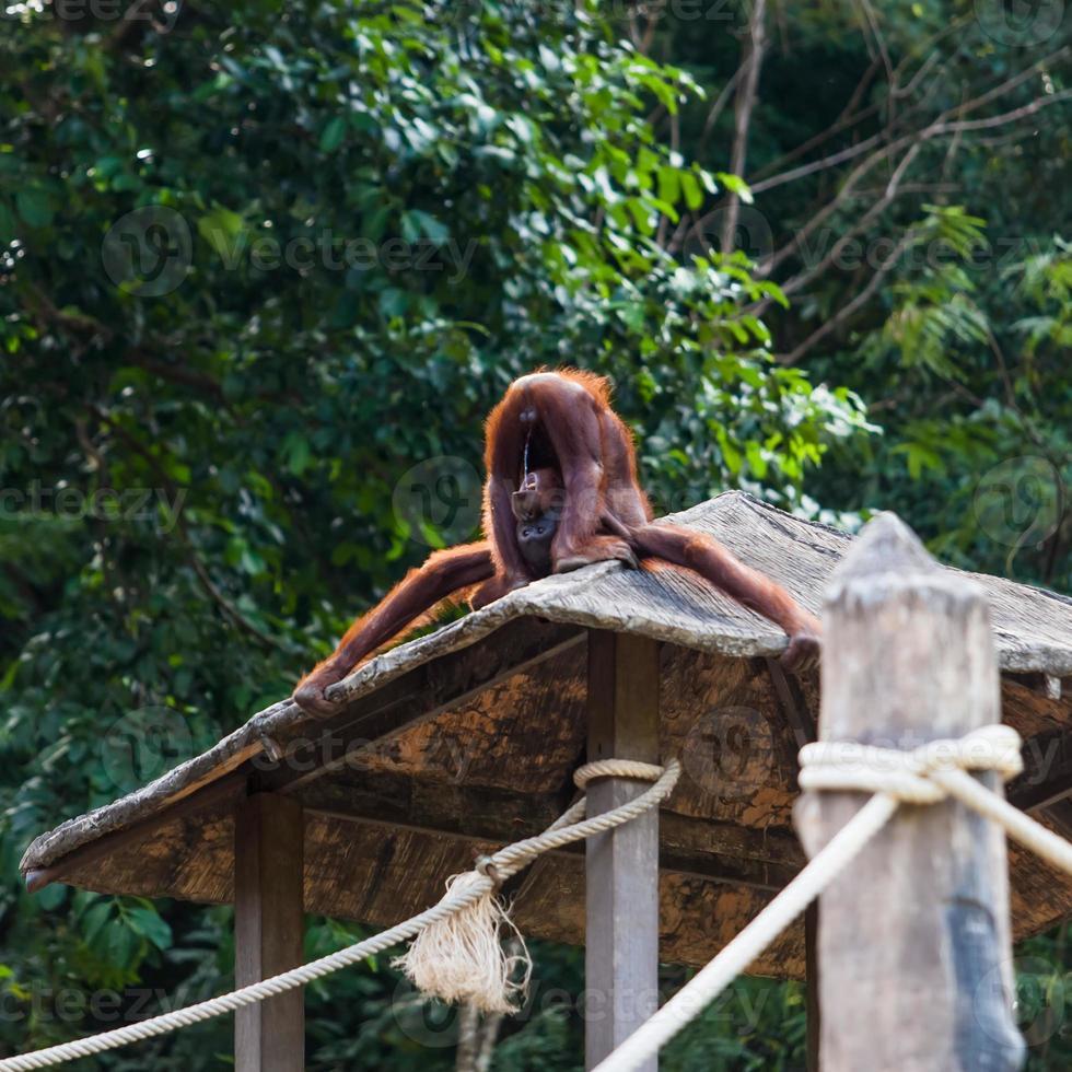 orangotango bebendo urina foto