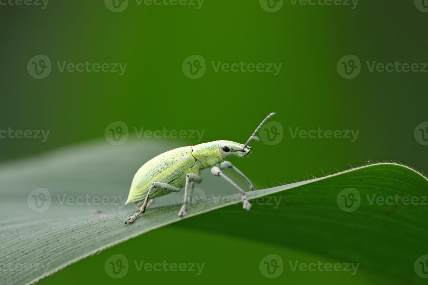 gorgulho verde foto