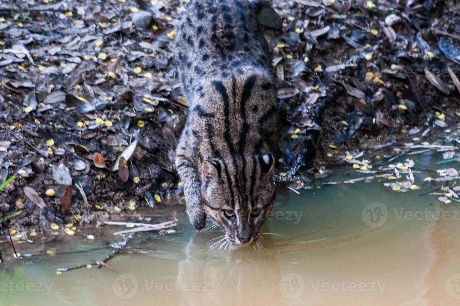 água potável de gato selvagem foto