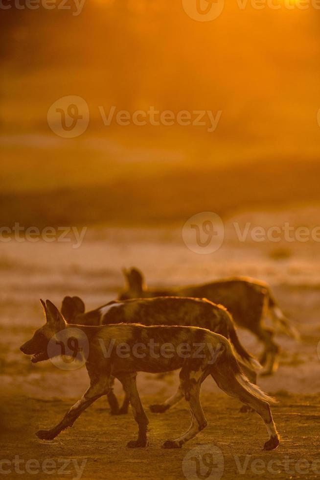 Vista lateral do cão selvagem retroiluminado foto
