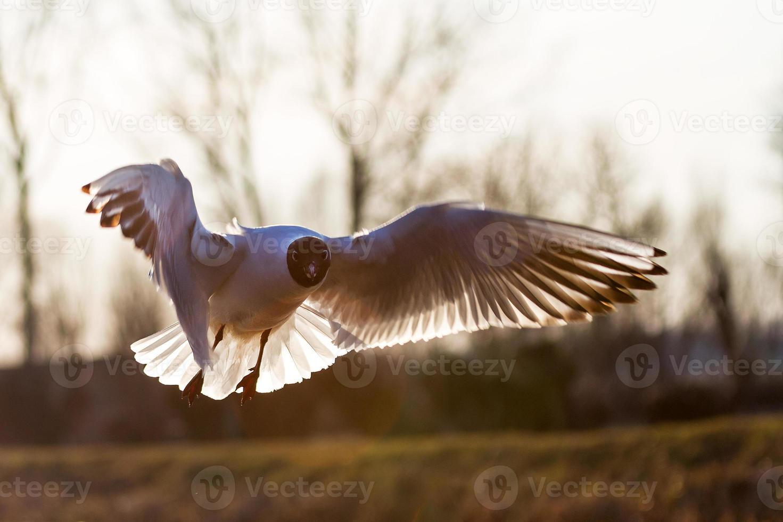 gaivota retroiluminada foto