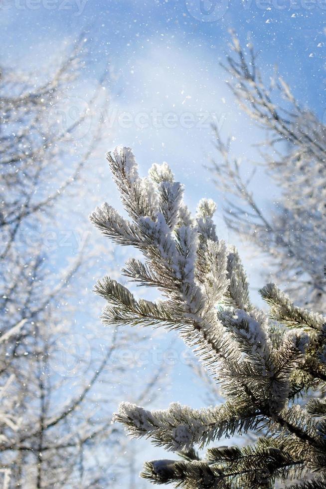 galho de árvore conífera coberto de gelo foto