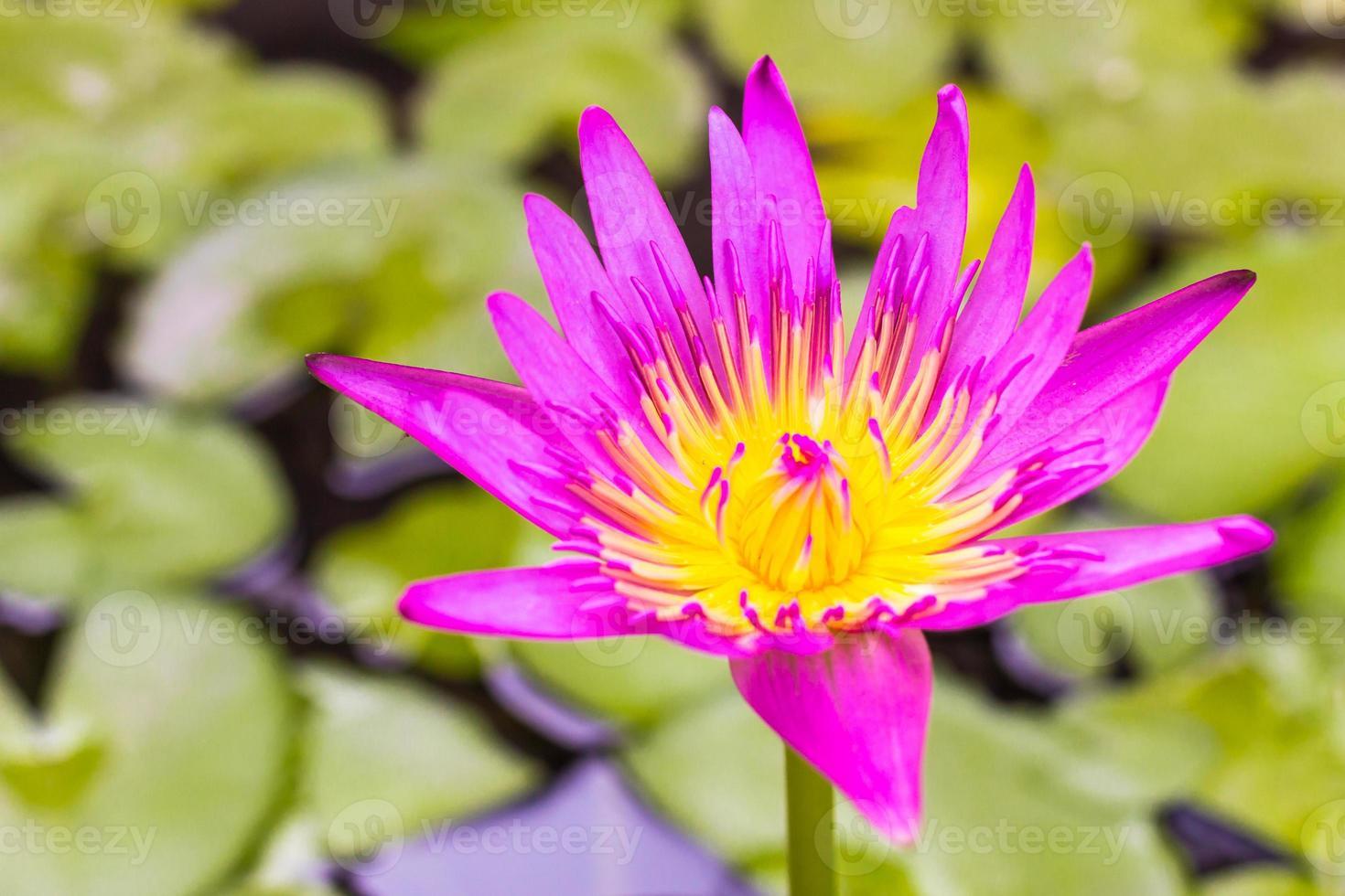 lótus rosa está florescendo na lagoa foto
