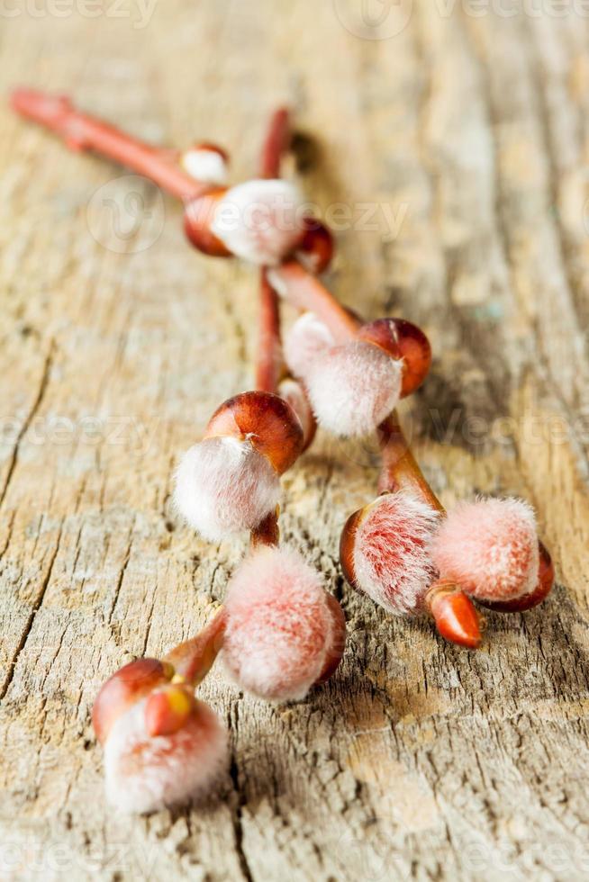 ramos de salgueiro com amentilhos na madeira close-up foto