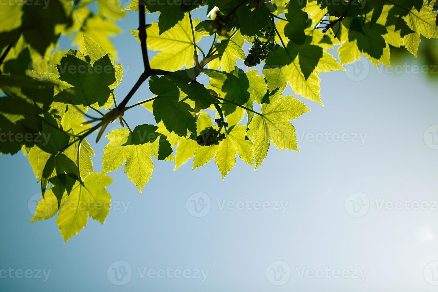 folhas de bordo primavera foto