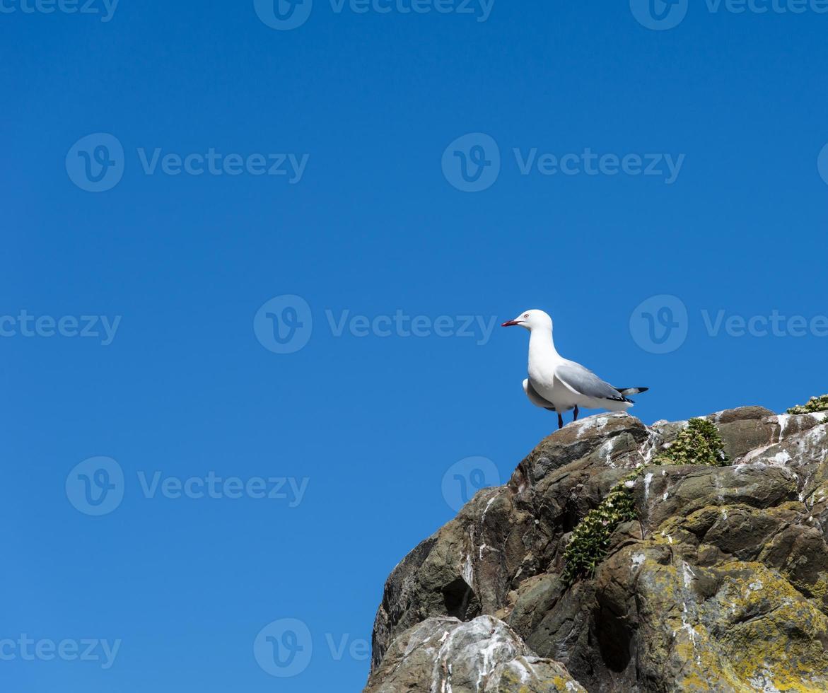 gaivota bico vermelho foto