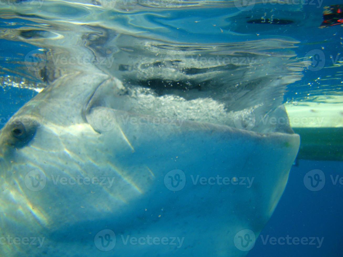 tubarão-baleia close-up foto