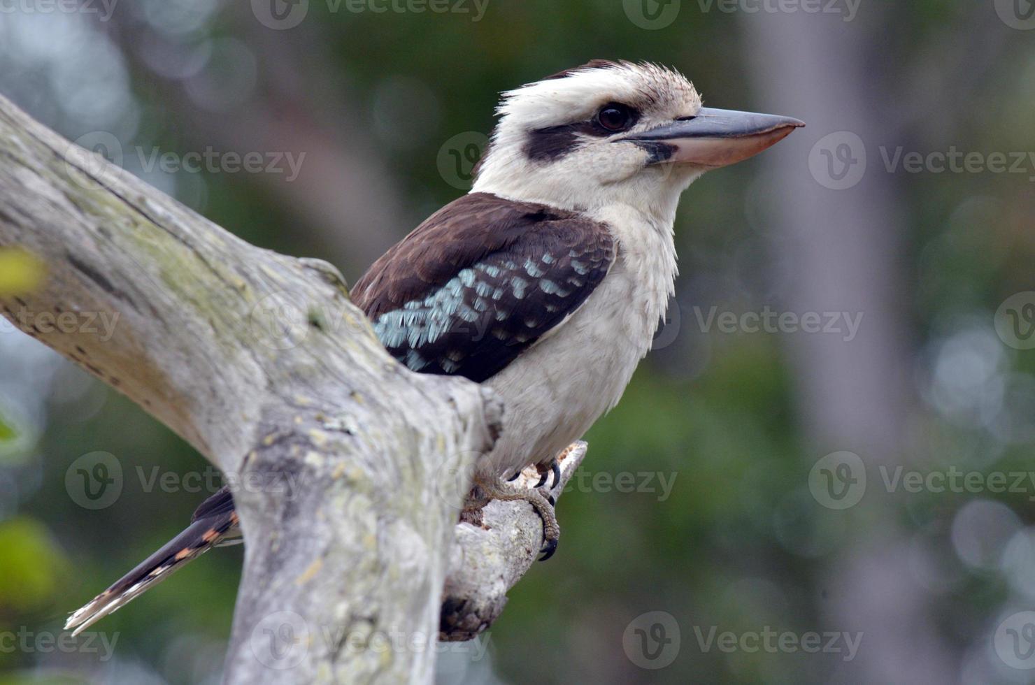 kookaburra foto