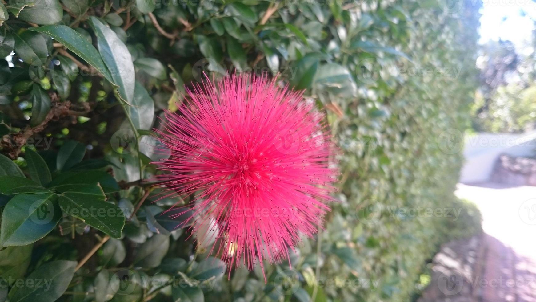 bottlebrush vermelho close-up. foto