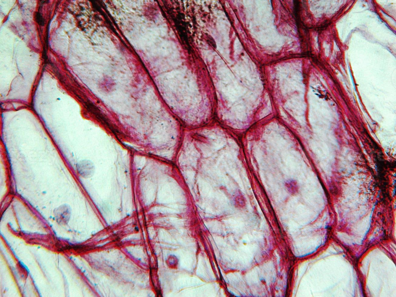 micrografia de epiderme de cebola foto