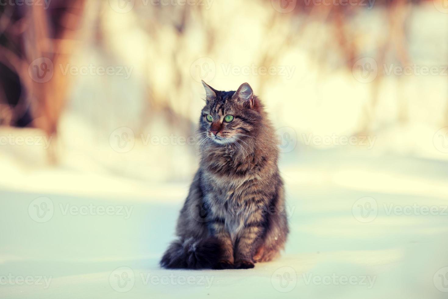 gato siberiano bonito relaxante ao ar livre na neve foto