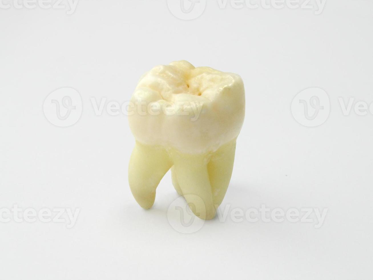 dente molar close-up foto