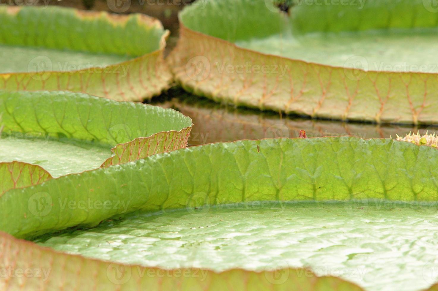 victoria amazonica (close-up) foto