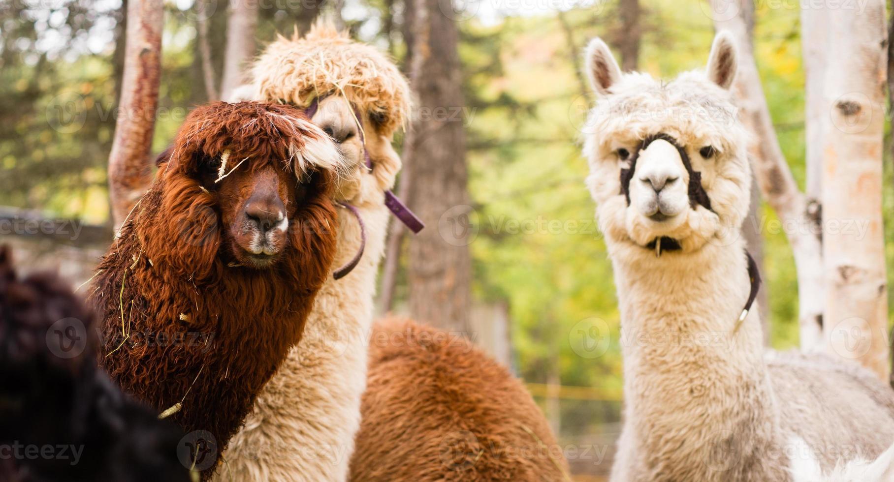 grupo de lhama doméstica fazenda gado animais foto