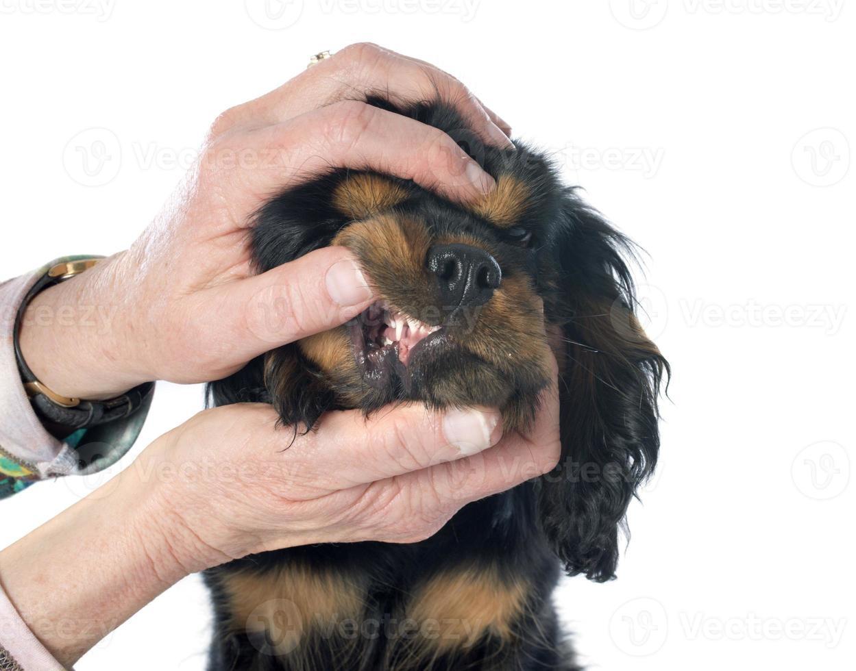 dentes de cachorro foto