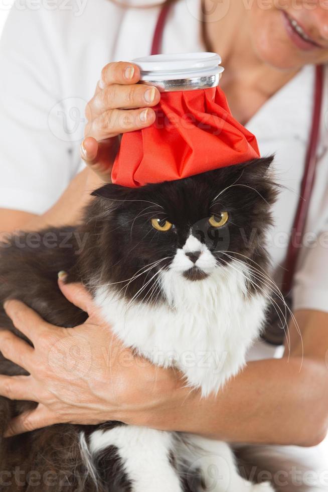 gripe do gato foto