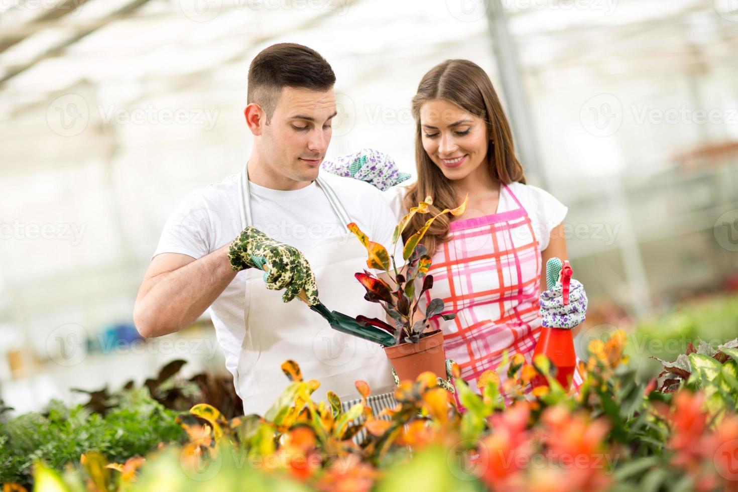 plantando e cuidando da planta croton em estufa foto