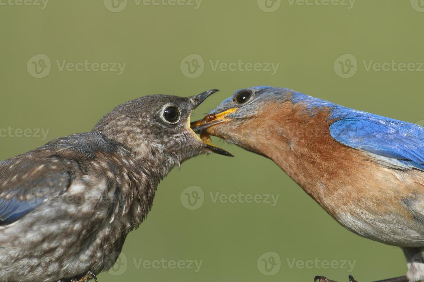 bluebird oriental masculino com bebê foto