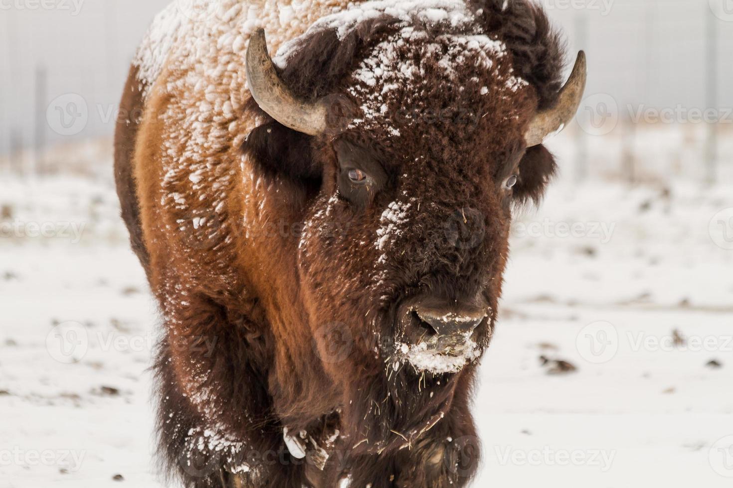 búfalo macho grande foto