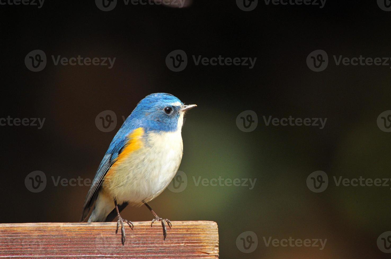 macho bluetail flanqueado de vermelho foto