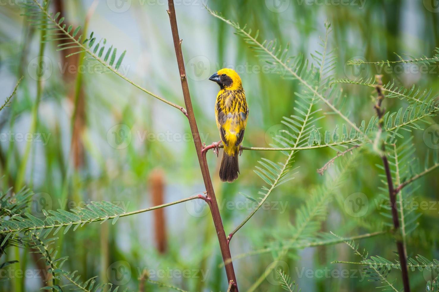 tecelão dourado asiático, pássaro masculino foto