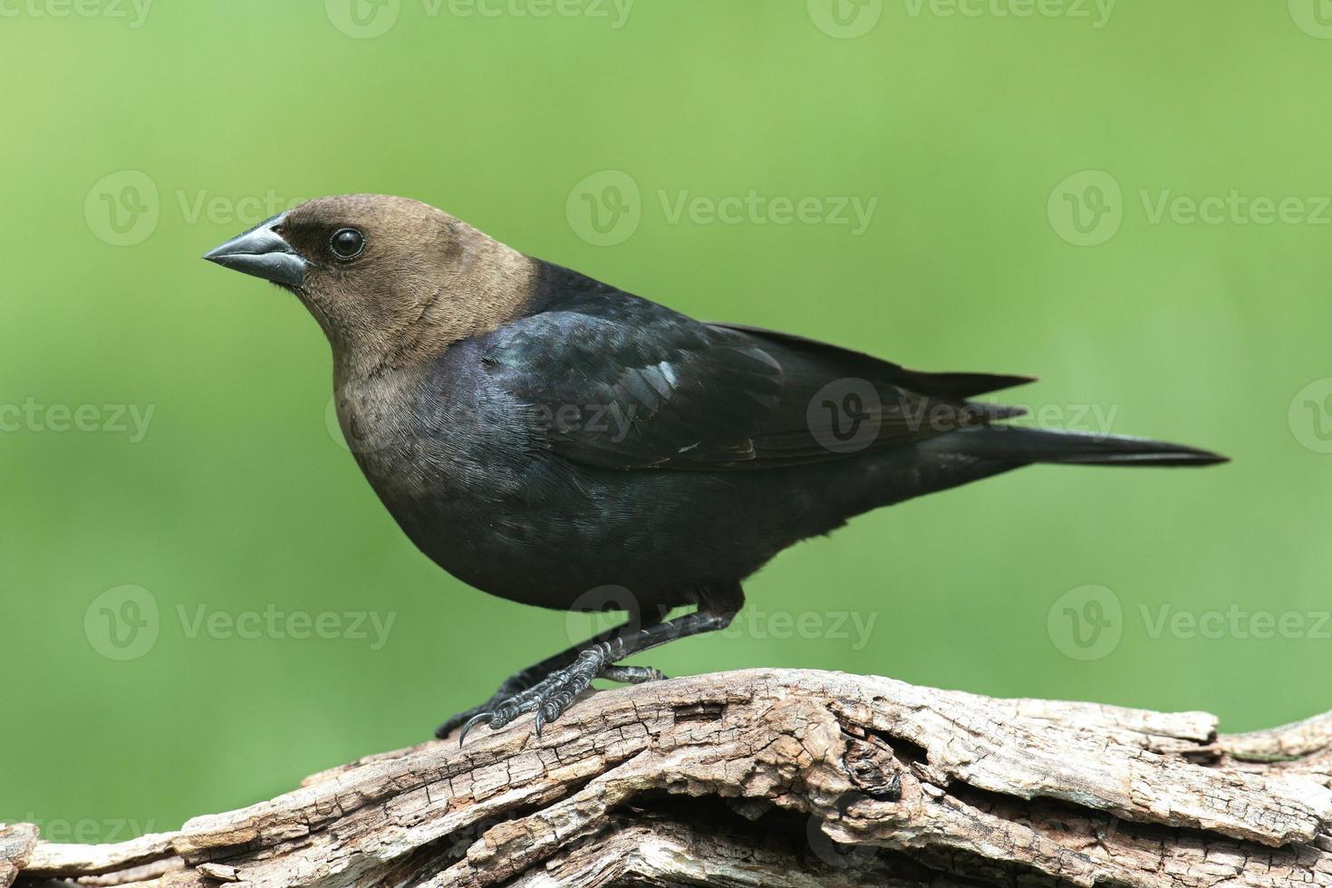 cowbird masculino em uma vara foto