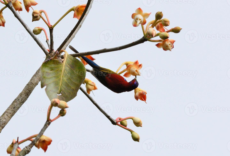 pássaro-marinho-macho (aethopyga gouldiae) foto